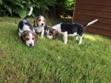 LOVELY WITH AMAZING CHARACTERISTICS BEAGLE PUPPIES FOR ADOPTION