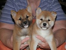 POTTY TRAINED CKC SHIBA INU PUPPIES READY FOR RE-HOMING