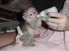 Two Baby Capuchin monkey For Free Adoption. perrymorgan38@gmail.com