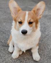 Pembroke Welsh Corgi Puppies Available