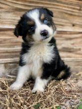 Adorable Australian Shepherds Available andreas12201@gmail.com