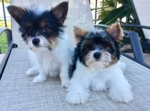 AMAZING TEACUP YORKIE PUPPIES FOR ADOPTION