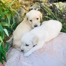 Adorable Golden Retriever puppies! @(431) 302-3667
