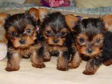 Top quality yorkie puppies for free adoption perrymorgan38@gmail.com