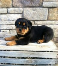 MARVELOUS CKC ROTTWEILER PUPPIES FOR RE-HOMING