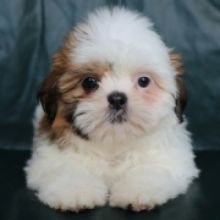Pure Bred Teacup Shih tzu puppies For Adoption Call or txt (705) 999-6572
