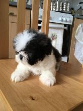 ADORABLE and LOVABLE Male And Female SHih tzu puppies for adoption Call or txt (705) 999-6572