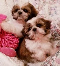 Adorable little male and female Shih tzu puppies For Adoption Call or txt (705) 999-6572