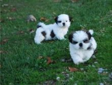 Charming Shih tzu puppies available Text.705-999-6572
