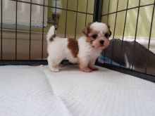 Jovial Shih tzu Puppies for free newly home! Call or txt (705) 999-6572