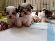 Lovely Shih tzu puppies for sale. Ready to go now Call or txt (705) 999-6572