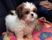 loving Shih tzu puppies- AKC Reg Call or txt (705) 999-6572