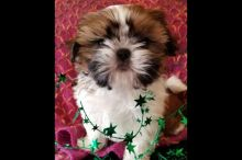 T-cup Shih tzu Puppies for New Families.Text us 7059996572
