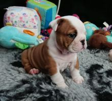 Two Top Class English Bulldog Puppies Available txt denisportman500@gmail.com