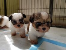 We need a good and caring home for our teacup Shih-Tzu puppies.705-999-6572