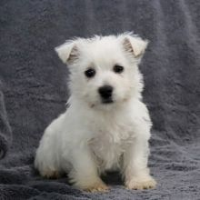 AFFECTIONATE WEST HIGHLAND WHITE TERRIER PUPPIES FOR ADOPTION