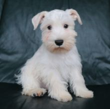 CHARMING CKC MINIATURE SCHNAUZER PUPPIES FOR RE-HOMING