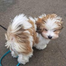 MARVELOUS CKC HAVANESE PUPPIES FOR RE-HOMING