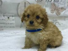 Cavapoo male and female puppies for adoption