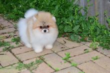 Charming Ckc Pomeranian Puppies For Adoption