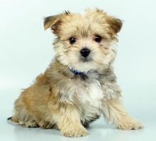 CUTE AND AMAZING MORKIE PUPPIES FOR RE-HOMING