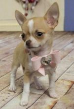 darling male and female T-Cup Chihuahua puppies For Adoption txt (lindsayurbin@gmail.com)