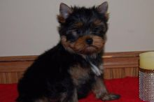 Friendly and Intelligent Yorkie puppies for adoption ID **ilovemybou017@gmail.com