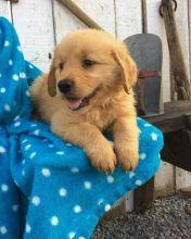 Healthy Registered golden rottweiler puppies