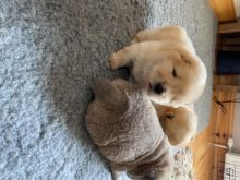 ✔✔Baby chow chow puppies For New Looking Home✔✔Email me mariejerbou@gmail.com
