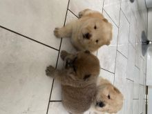 ✔✔Charming Chow Chow Puppies Available For New Looking Home✔✔Email me mariejerbou@gmail.com