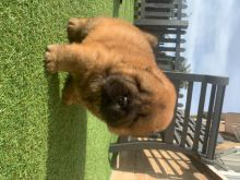 ✔✔Clean Chow Chow Puppies Available For New Looking Home✔✔Email me@mariejerbou@gmail.com