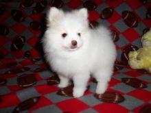 ❤️❤️ Healthy Reg Pomeranian babies available❤️❤️ Email**denisportman2989@hotmail.com