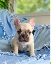 Amazing French Bulldogs Up for Adoption Call or txt (705) 999-6572
