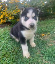 Amazing full pedigree husky puppies**available** for adoption**ilovemybou017@gmail.com