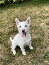 Playful Siberian Husky Puppies**available** for adoption**ilovemybou017@gmail.com