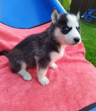 smart and amazing Siberian husky puppies**available** for adoption**ilovemybou017@gmail.com