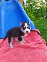 Top Quality Siberian husky Pup for re-homing**ilovemybou017@gmail.com
