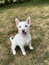 White siberian huksy puppies**available** for adoption**ilovemybou017@gmail.com