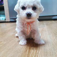 Bichon Frise male and female puppies for adoption