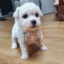 Purebred Bichon Frise puppies for adoption