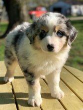 lovely Australian-shepherd puppies