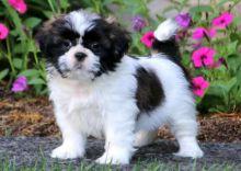 amazing little Shih Tzu puppies