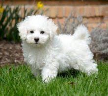 Bichon Frise Puppies Image eClassifieds4u 1