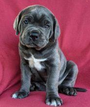 cane Corso puppies Image eClassifieds4u 1