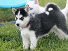 Lovely and Adorable Siberian Husky puppies