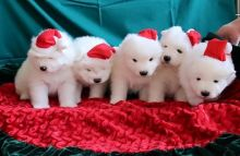 Awesome Samoyed Puppies Available For adoption