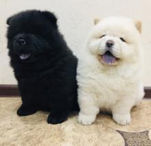 Chow Chow puppies ready to go home.