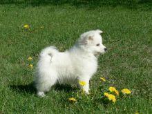 Fluffy American Eskimo puppies