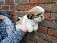 Lhasa Apso puppies ready now