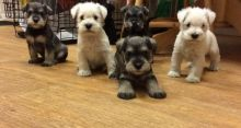 Miniature Schnauzer puppies ready for adoption